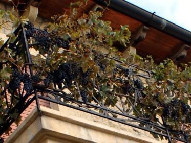 Плодоношение винограда на балконе