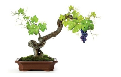 Виноград в небольшой кадке